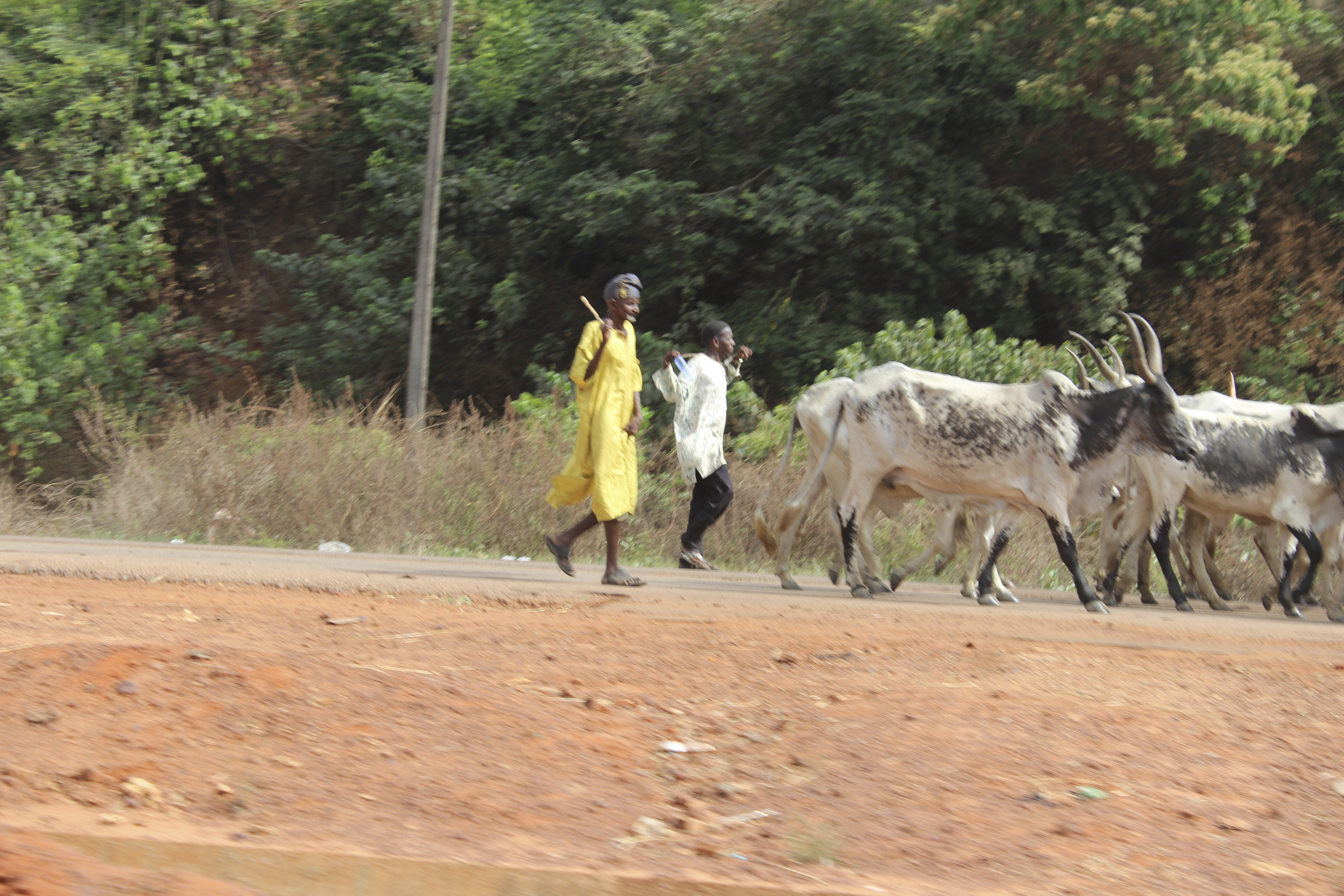 Fulani Herdsmen and Cattle in Enugu State, Nigeria. #JujuFilms