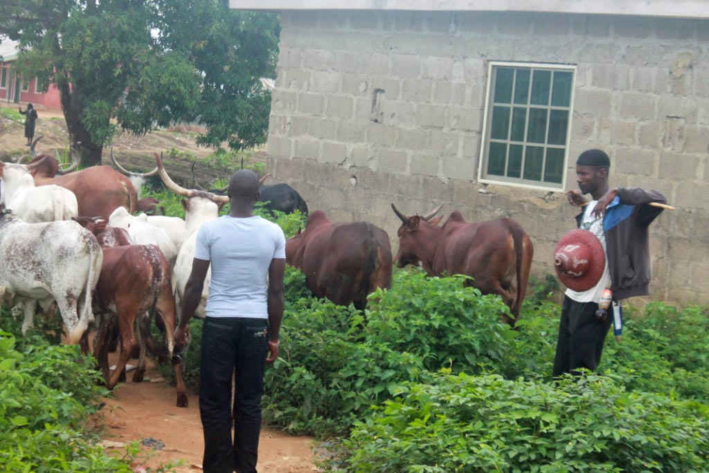 Cattle & Herdsman