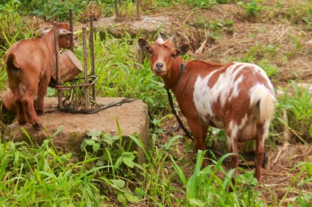 Nigerian goats, Photo by Jujufilm @ wordpress.com