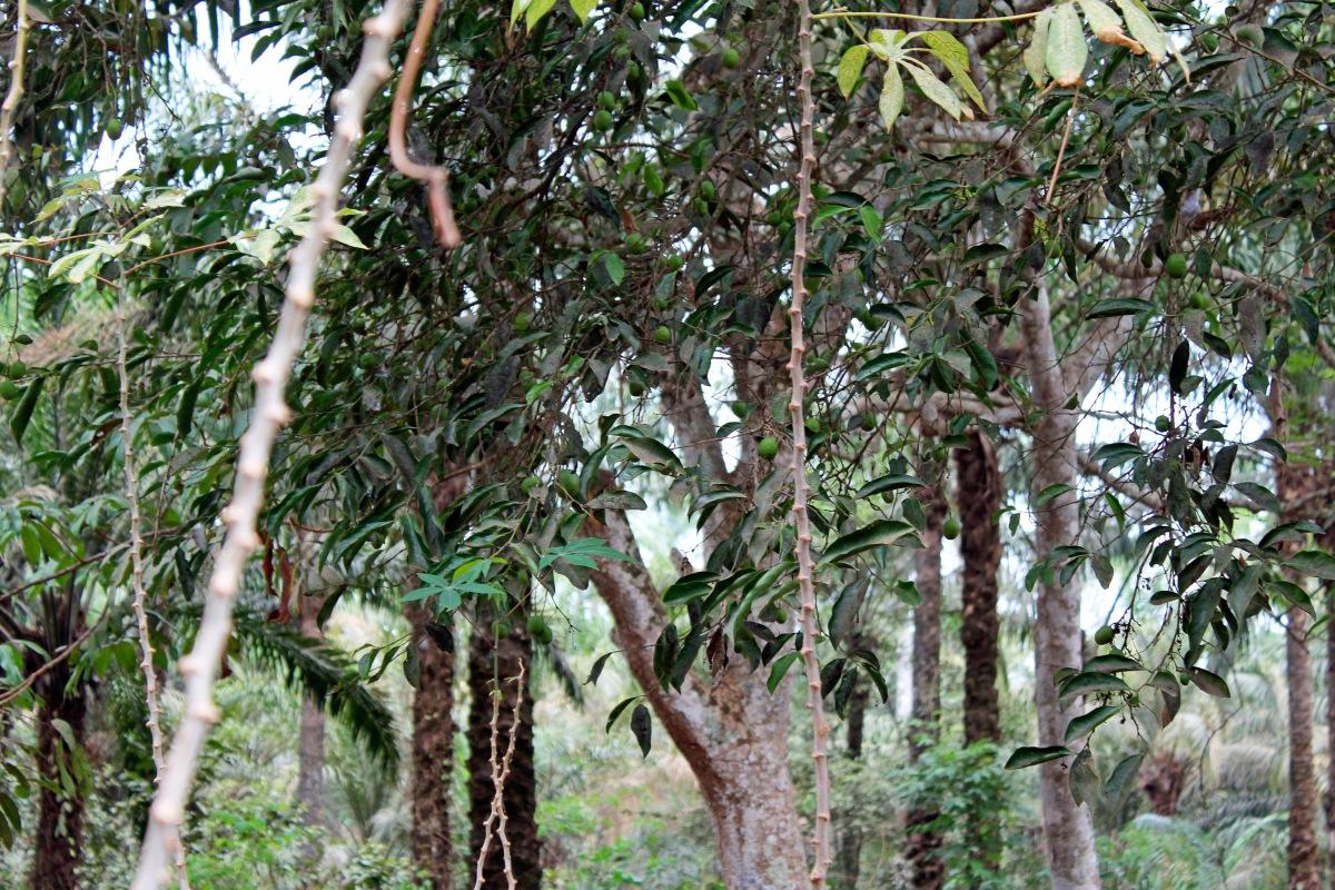 Ogbono & Ugba trees, Iheaka Village, Enugu, Nigeria.
