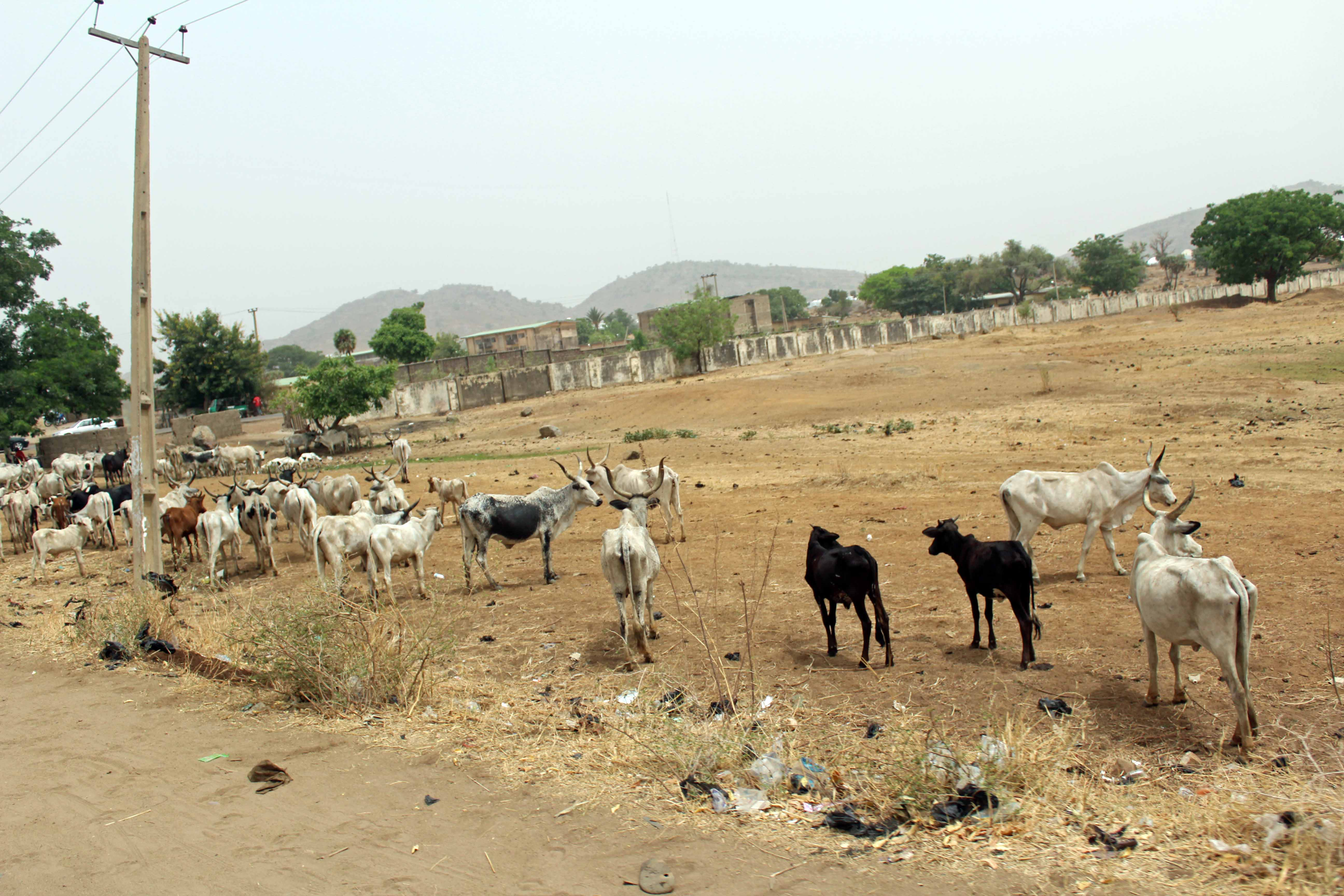 Nigerian Cattle Gombe State