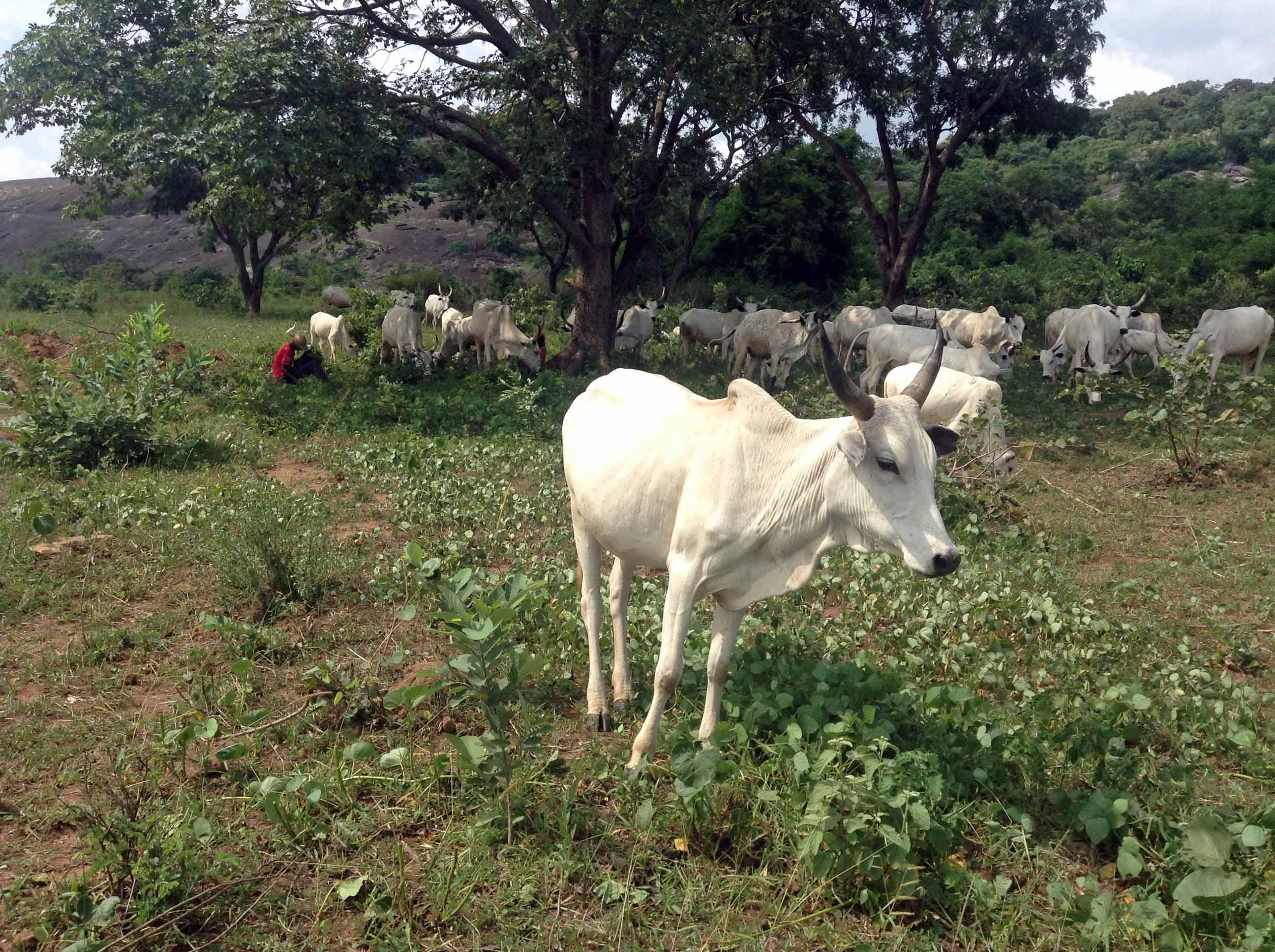 Nigerian Cattle in Ushafa