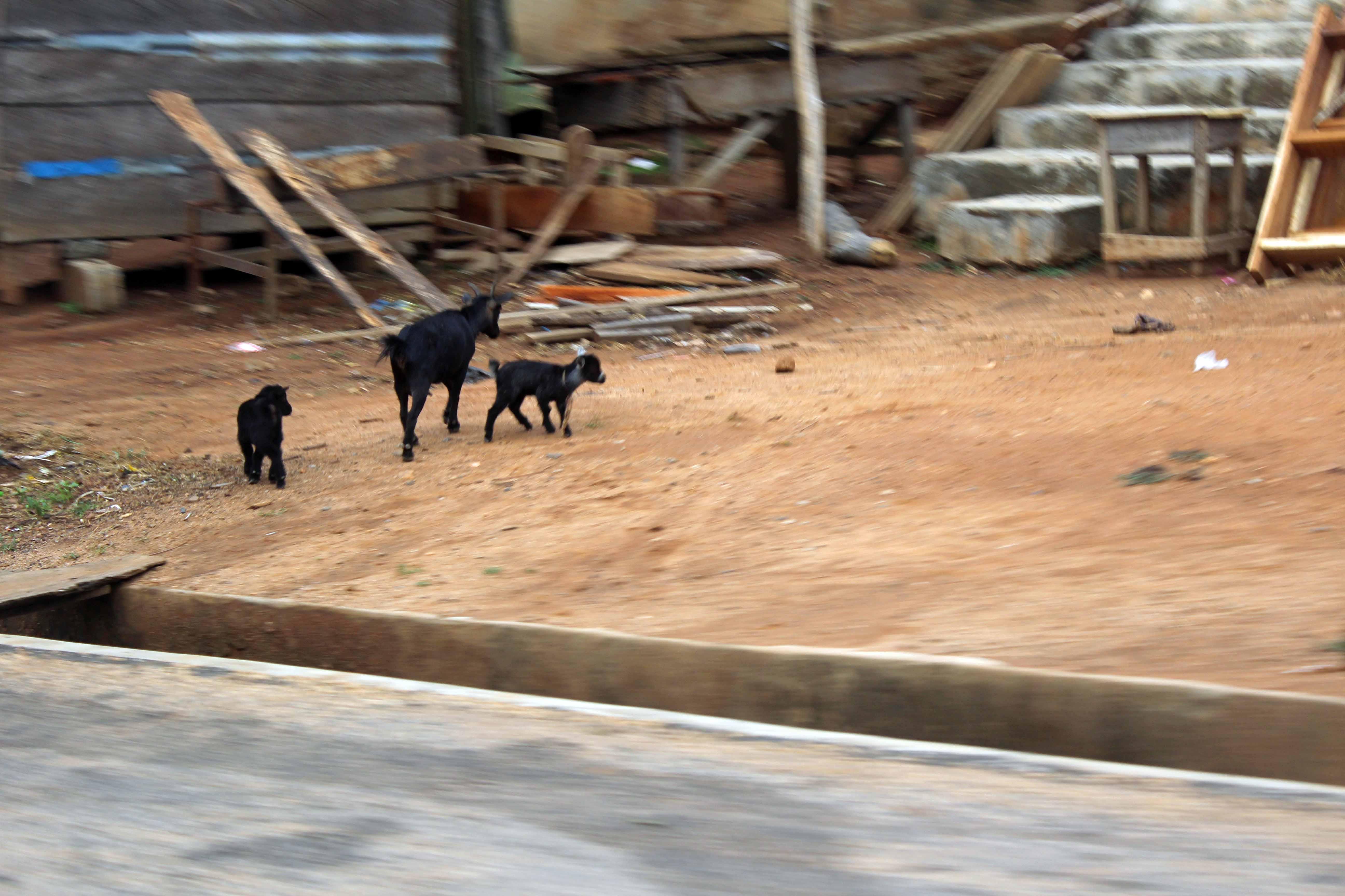 Nigerian Goats Oka Ondo State