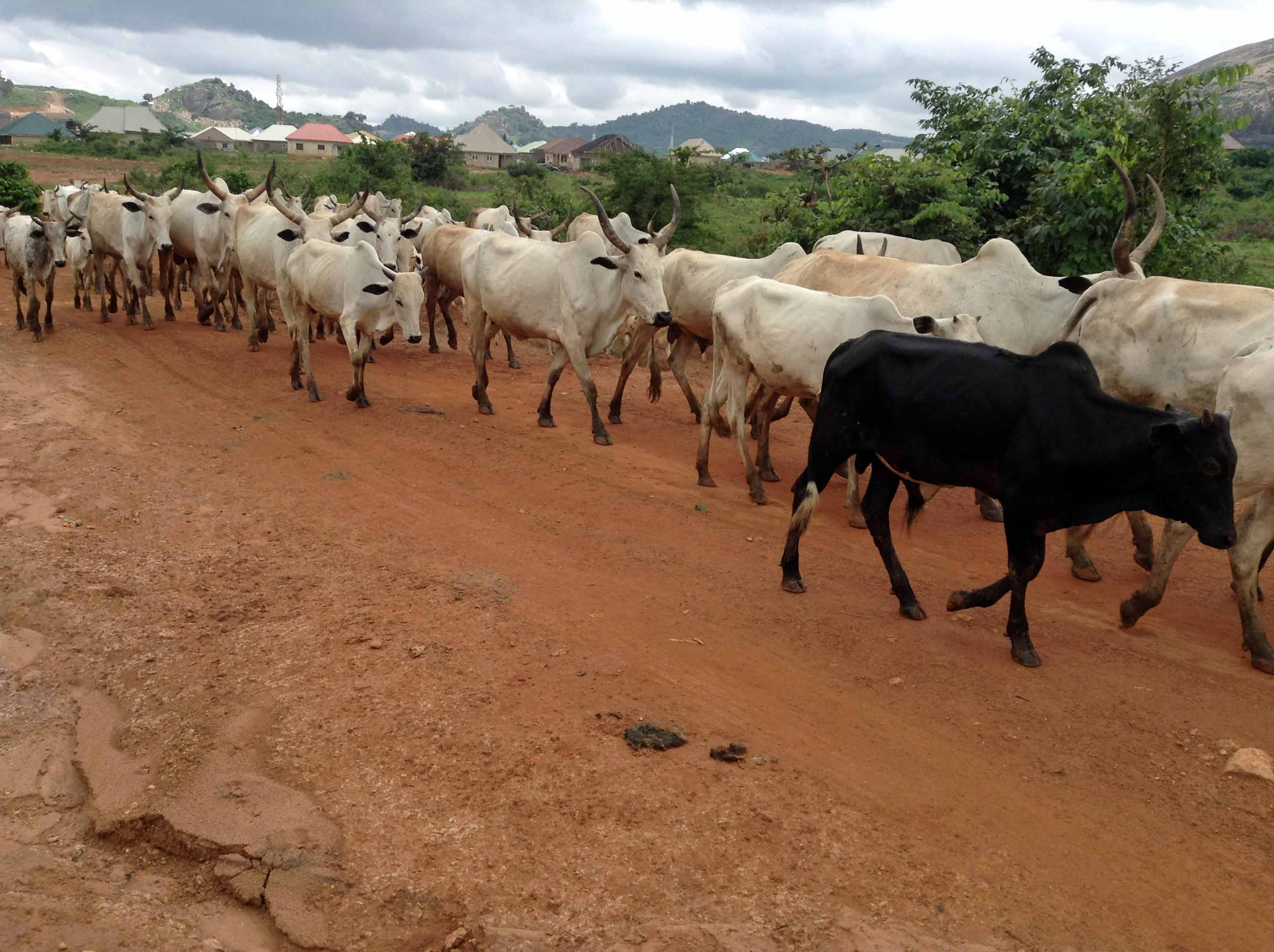 Nigerian Cattle in Ushafa Village Nigeria