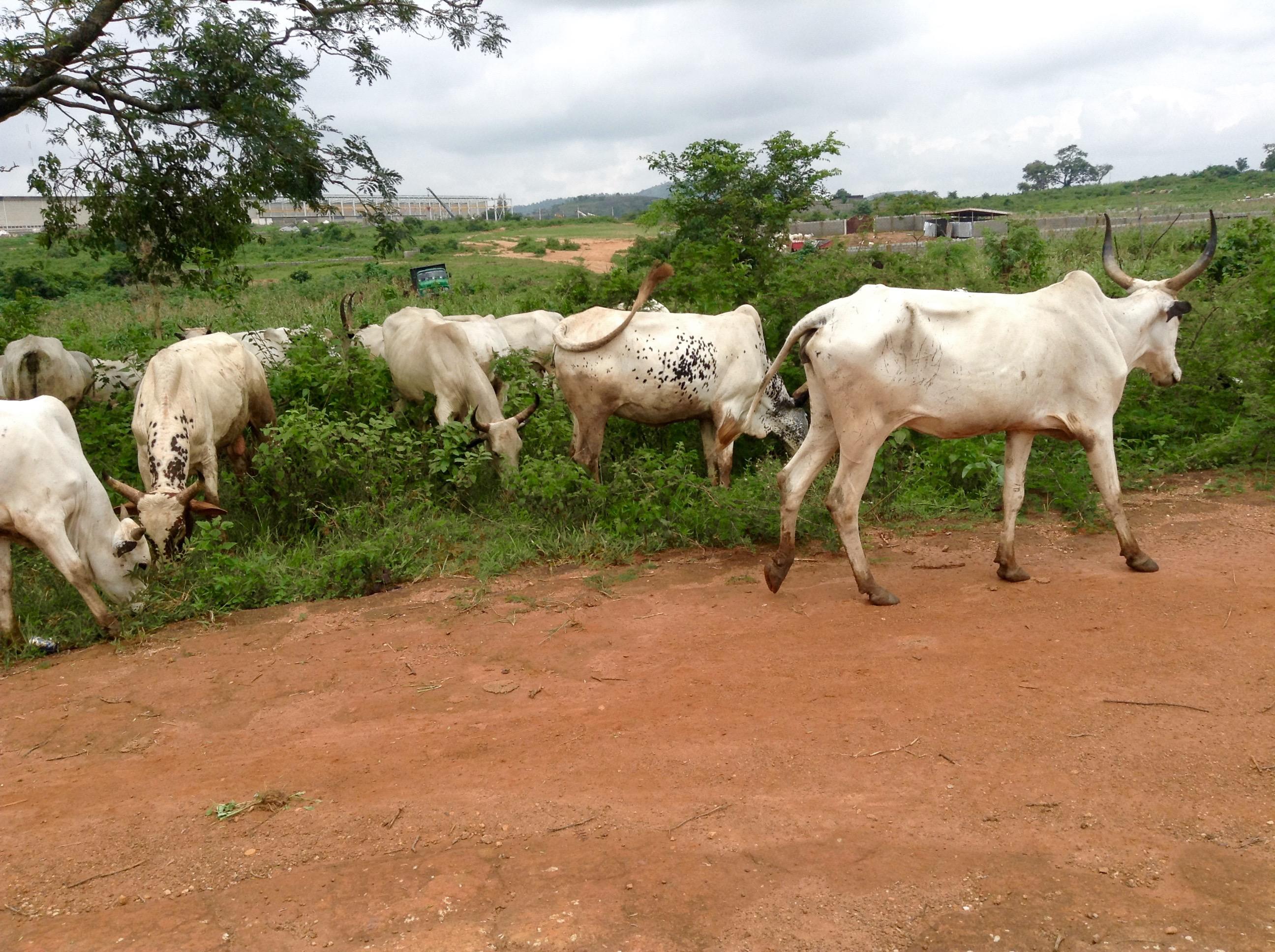 Nigerian Cattle (Keteku)