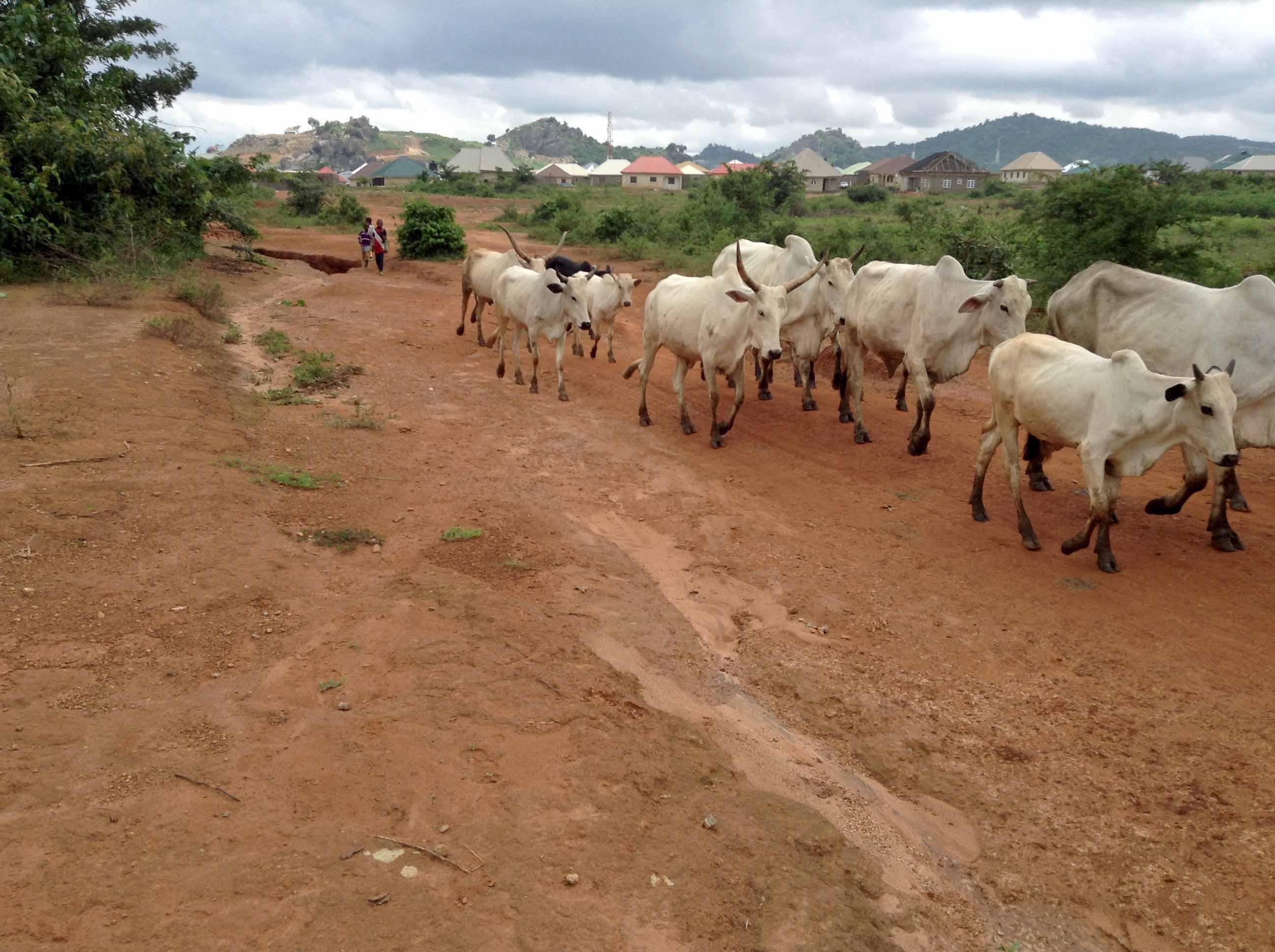 Nigerian Cattle Ushafa Village