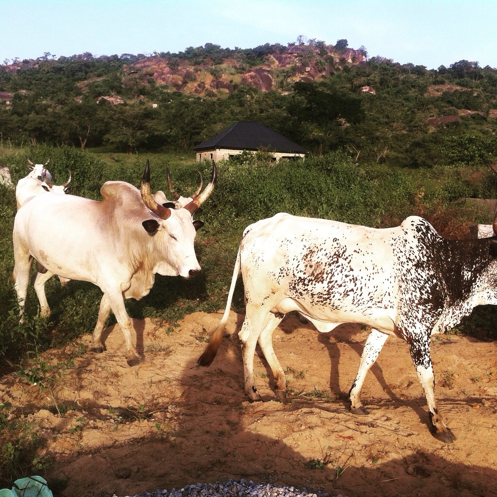 Keteku Cattle