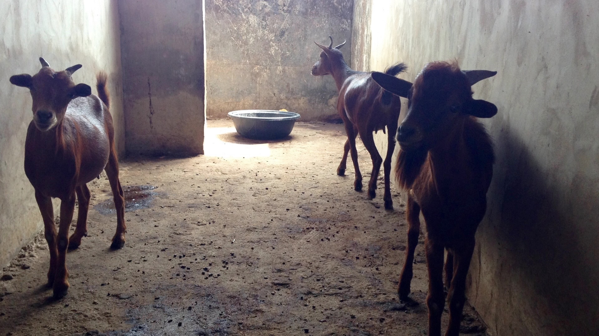 Sokoto Red Goat