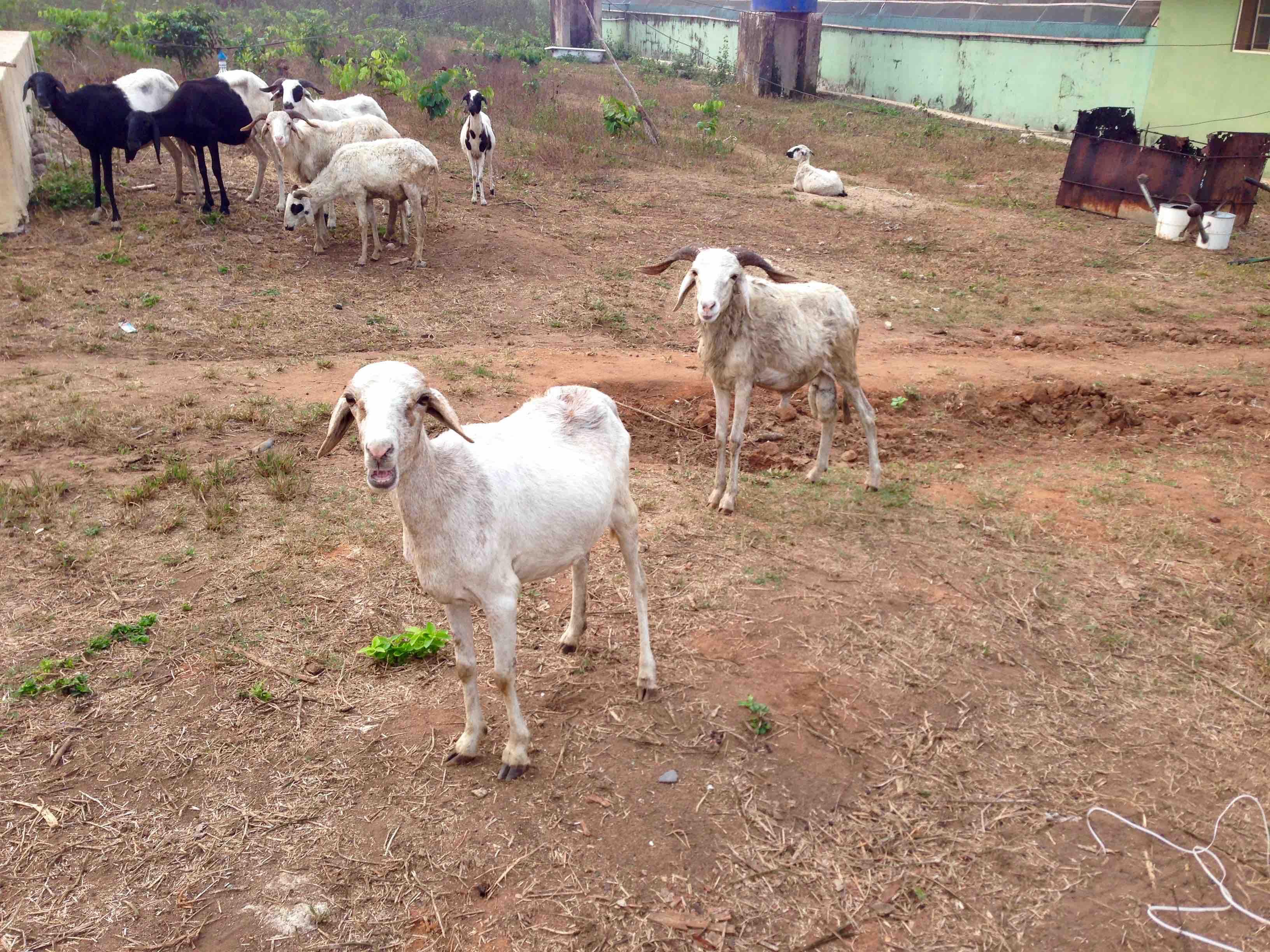 Sheep, Otedola Integrated Farms, Odoragunshin, Epe, Lagos, Nigeria. #JujuFilms