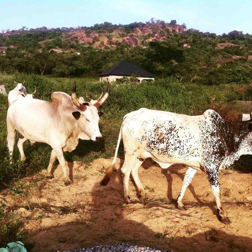 Keteku Cattle, Ushafa Village, FCT, Abuja, Nigeria. #JujuFilms