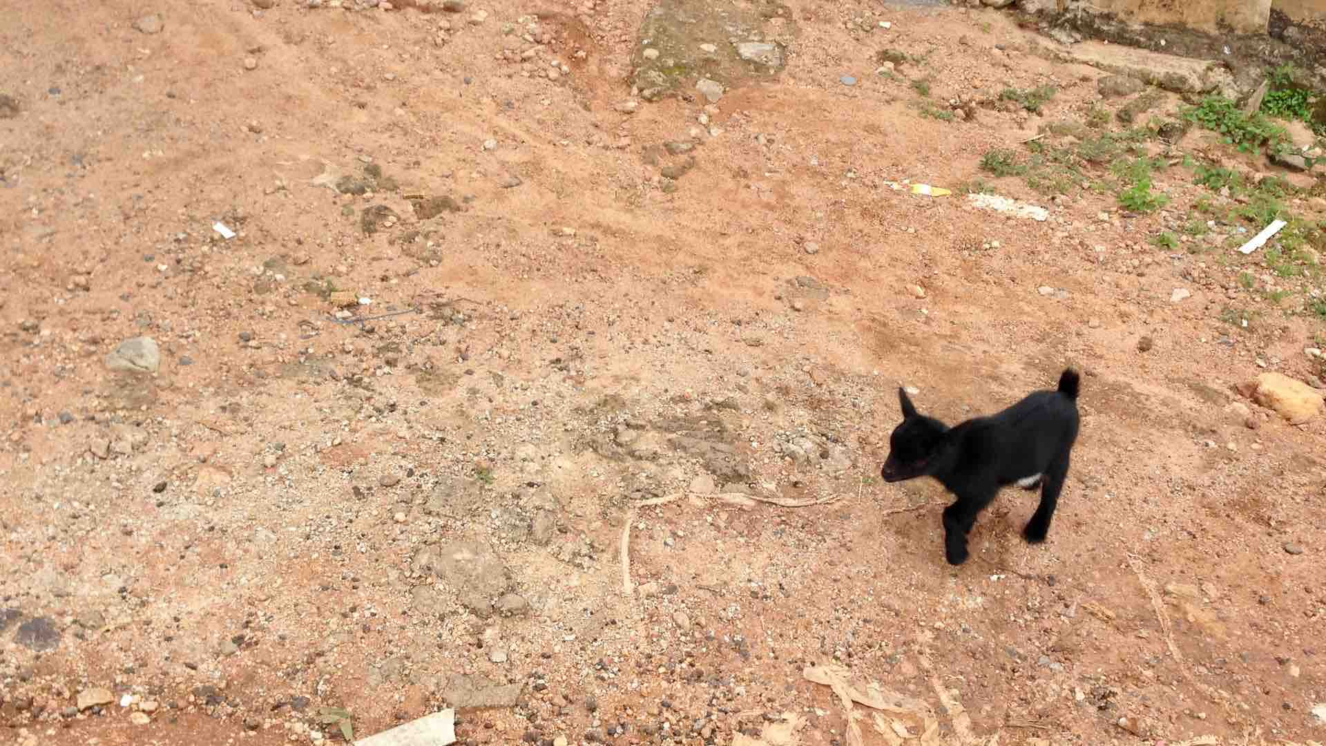 Nigerian baby goat, (Kid) Idoani, Ondo State, Nigeria. #JujuFilms