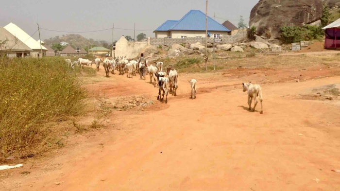Keteku Cattle and Fulani Herdsman in Ushafa Village, FCT, Abuja, Nigeria. #JujuFilms