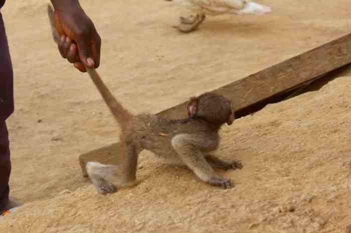 Orphaned baby monkey of Langa Langa Village, Nasarawa State, Nigeria. #JujuFilms