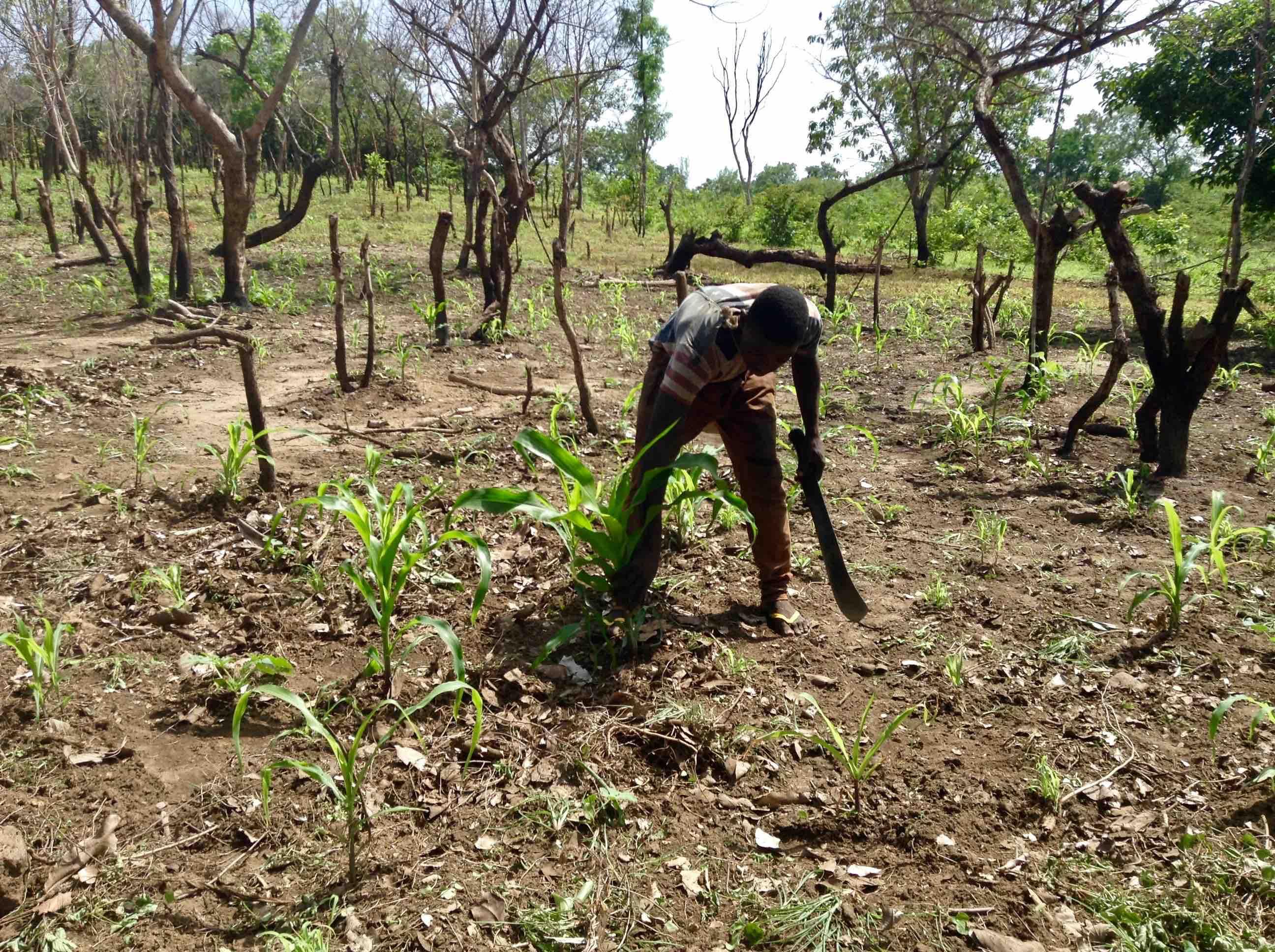 Monsanto's Toxic Chemical Glyphosate Free Farming in Langa Langa Village, Nasarawa State, Nigeria. #JujuFilms
