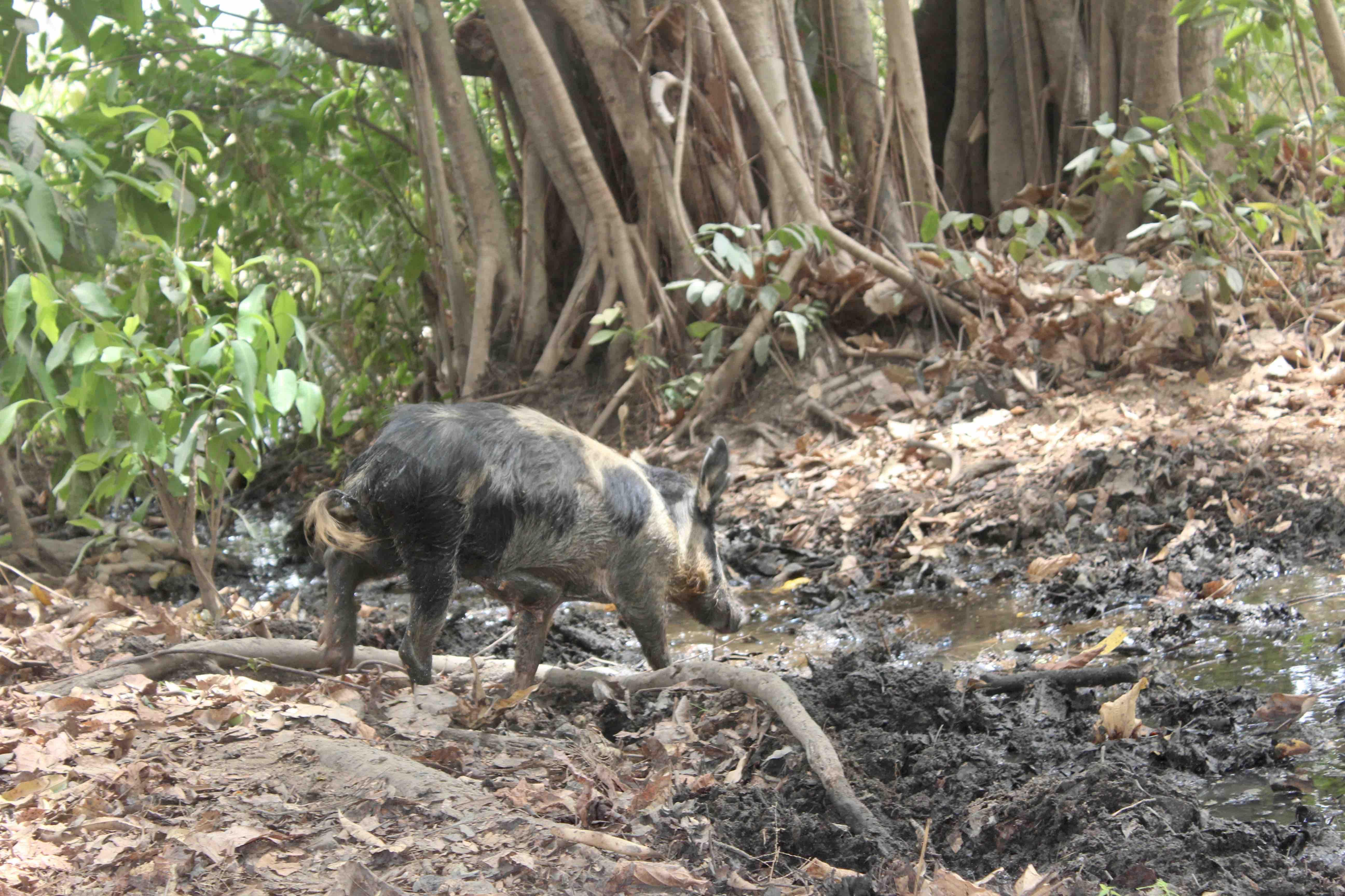Bush Pig, Langa Langa Village, Nasarawa State, Nigeria. #JujuFilms