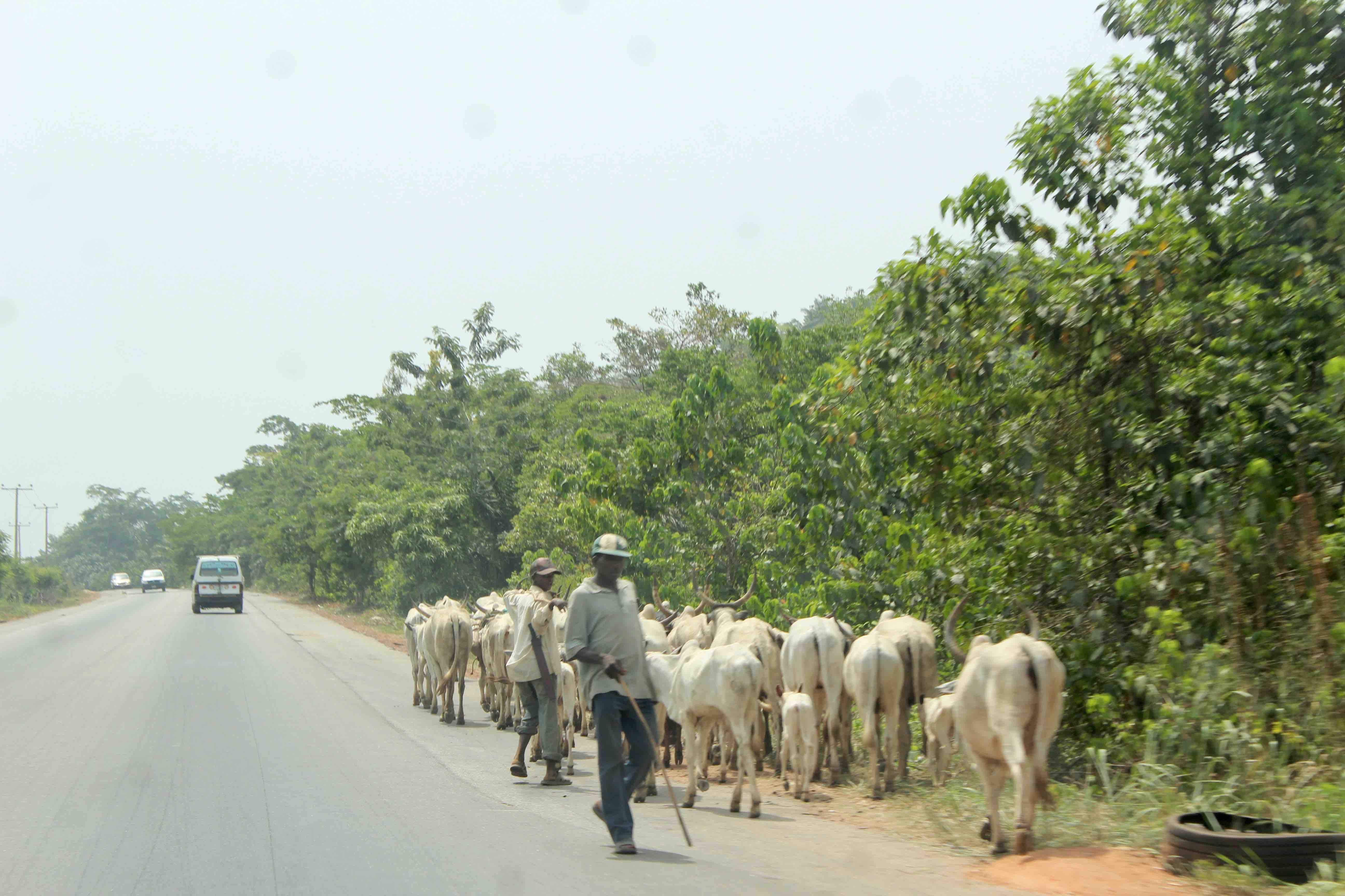 Fulani Herdsmen and cattle, Ilesa, Osun State, Nigeria. #JujuFilms