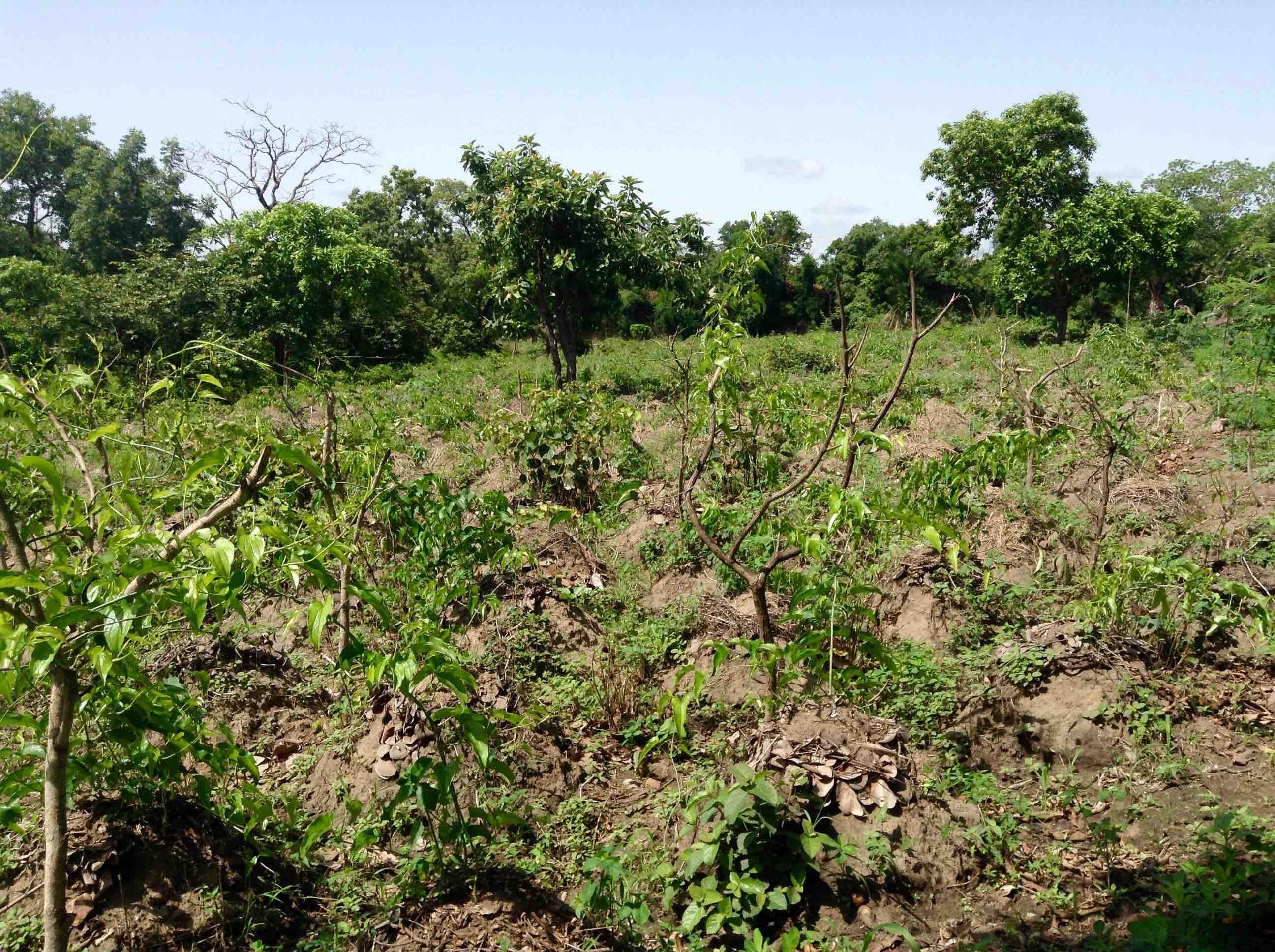 African Yams Farm, Langa Langa Village, Nasarawa State, Nigeria, #JujuFilms