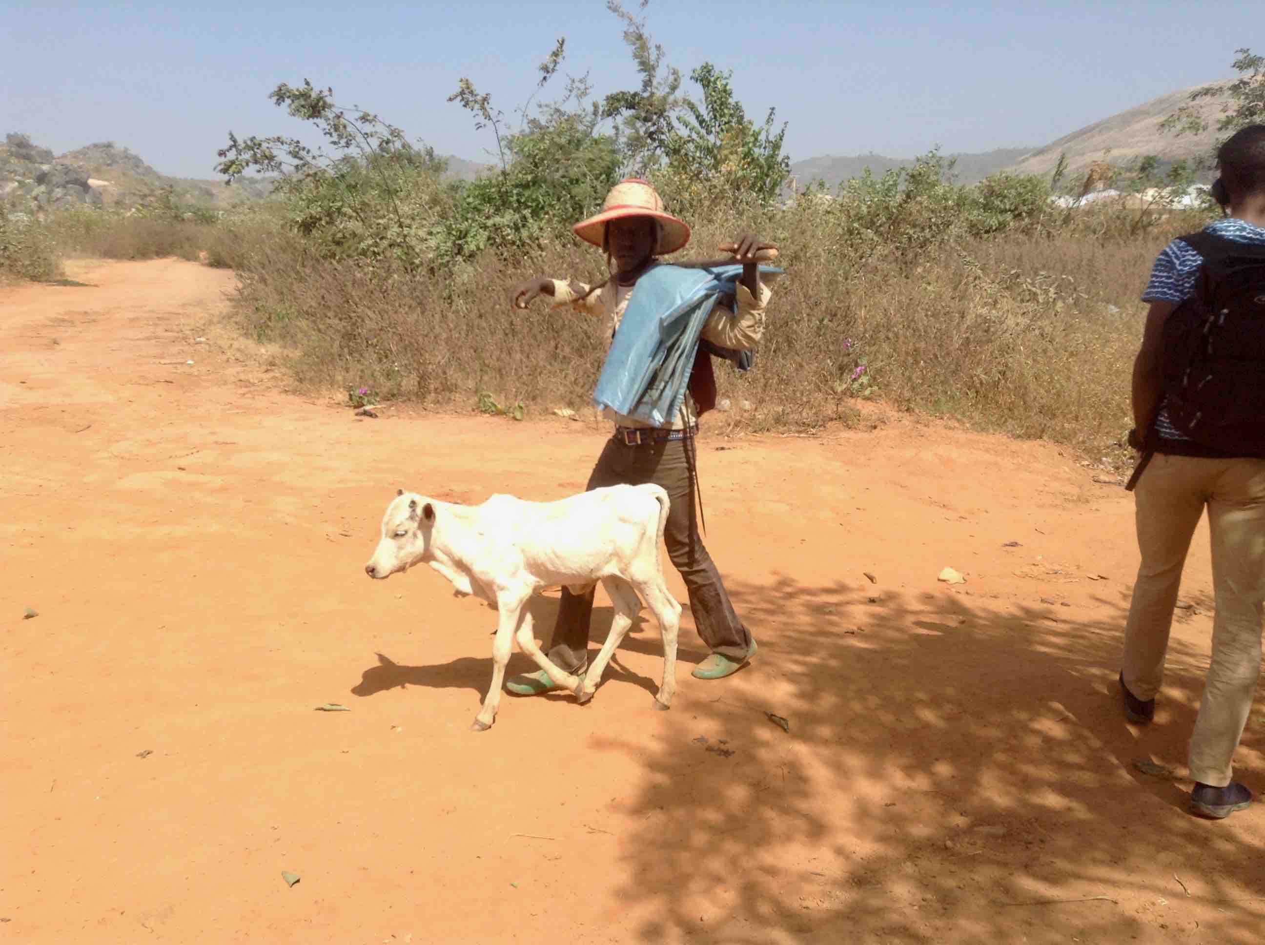 Fulani cattle herdsman and Calf, Ushafa Village, Abuja, Nigeria. (We don't eat veal or use Calf skin in Nigeria)