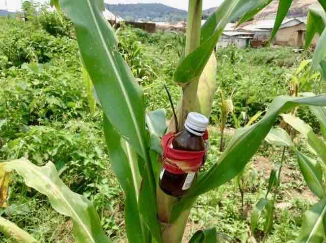 Corn farm with added traditional protection against theft, Ushafa Village, Abuja, Nigeria, #JujuFilms